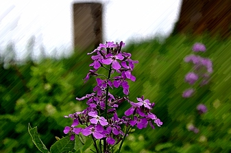 Wild Phlox with Pentax K-x water color filter. (Spring 2013)