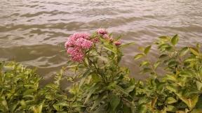 Asclepian incarnata (Swamp Milkweed)
