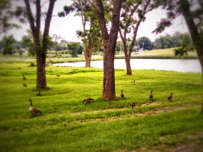 Grazing Canadian Geese
