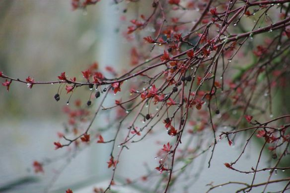 Dripping Crab Apple Tree