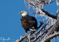 Early morning perch near a nest after recent ice storm near Creston, IA