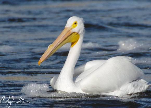 pelican-and-bubbles