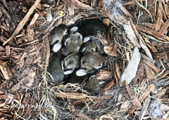 A nest of six with cottontail rabbits