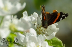 Red Admiral butterfly on apple tree blossono